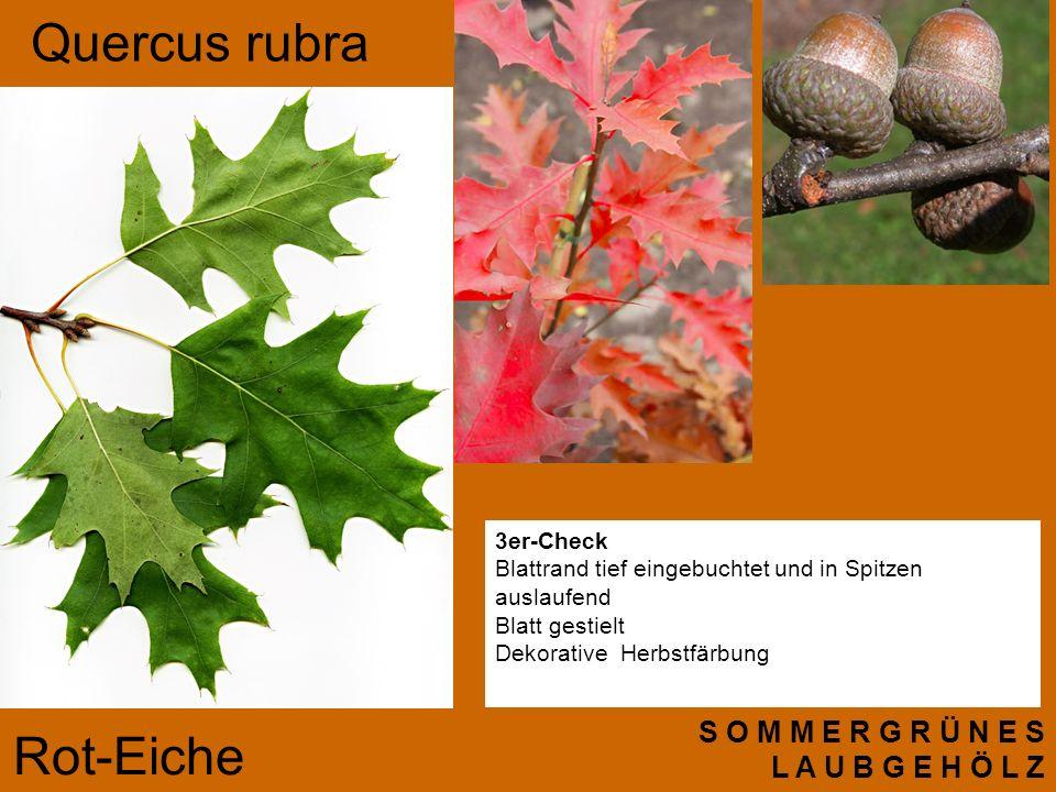 S O M M E R G R Ü N E S L A U B G E H Ö L Z 3er-Check Blattrand tief eingebuchtet und in Spitzen auslaufend Blatt gestielt Dekorative Herbstfärbung Quercus rubra Rot-Eiche