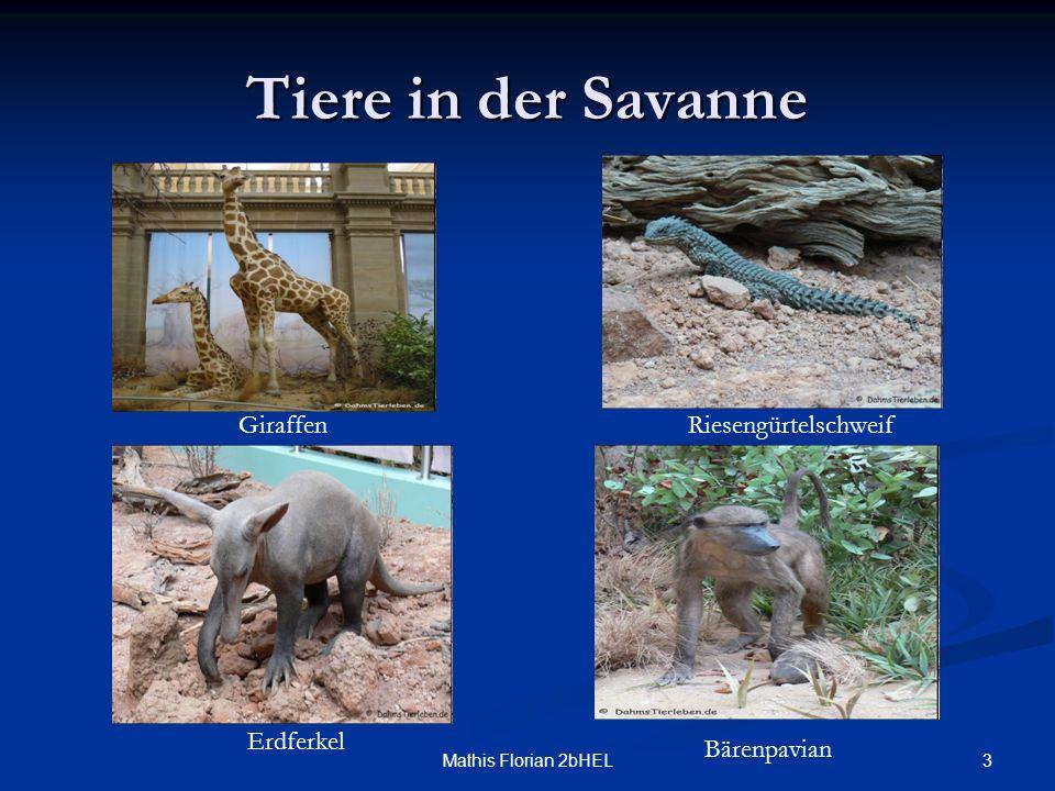3Mathis Florian 2bHEL Tiere in der Savanne Giraffen Erdferkel Riesengürtelschweif Bärenpavian