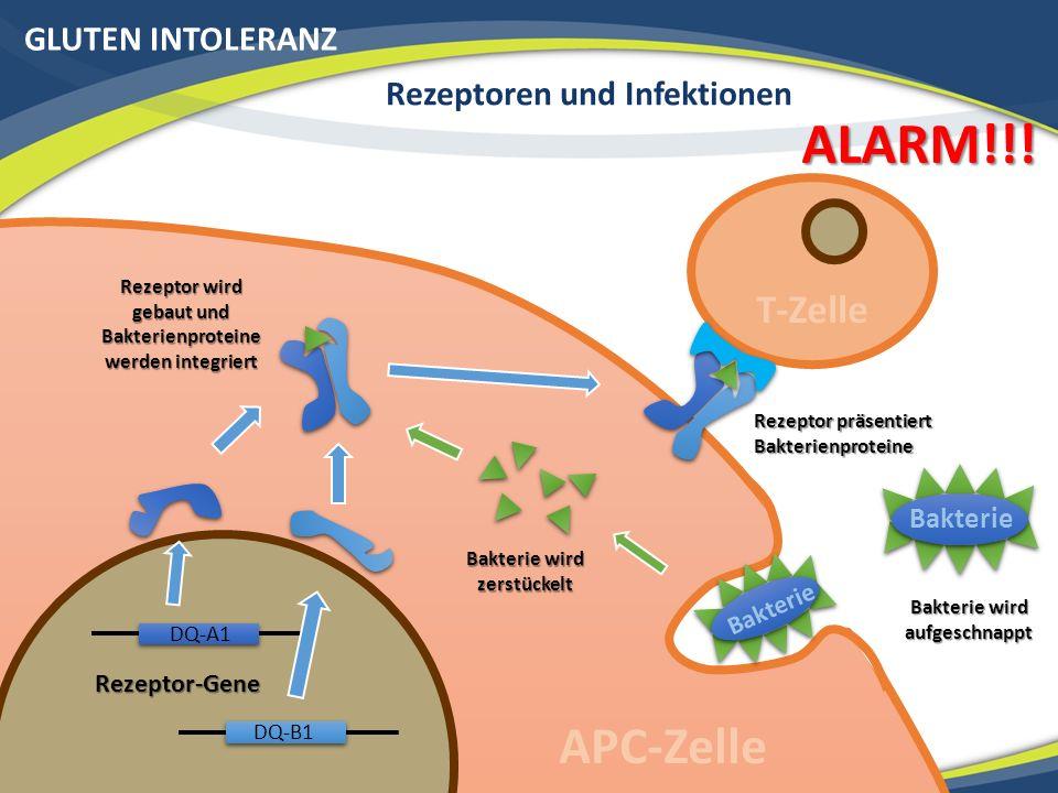 GLUTEN INTOLERANZ Rezeptoren und Infektionen Bakterie Rezeptor-Gene Rezeptor präsentiert Bakterienproteine Bakterie wird aufgeschnappt Bakterie wird zerstückelt Rezeptor wird gebaut und Bakterienproteine werden integriert T-Zelle APC-Zelle ALARM!!.