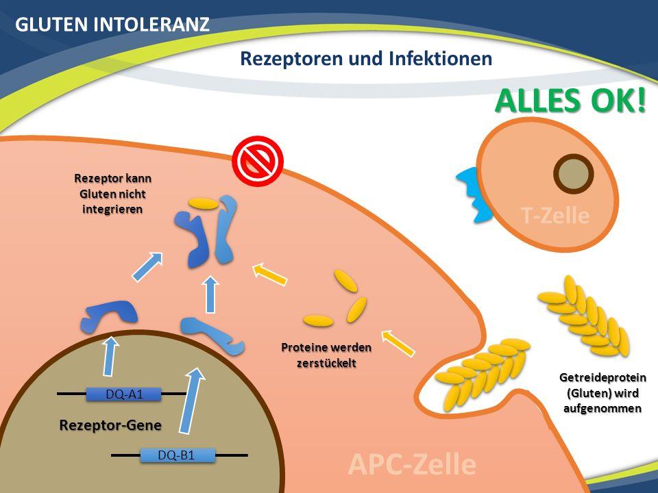 GLUTEN INTOLERANZ Rezeptoren und Infektionen Rezeptor-Gene Getreideprotein (Gluten) wird aufgenommen Proteine werden zerstückelt Rezeptor kann Gluten