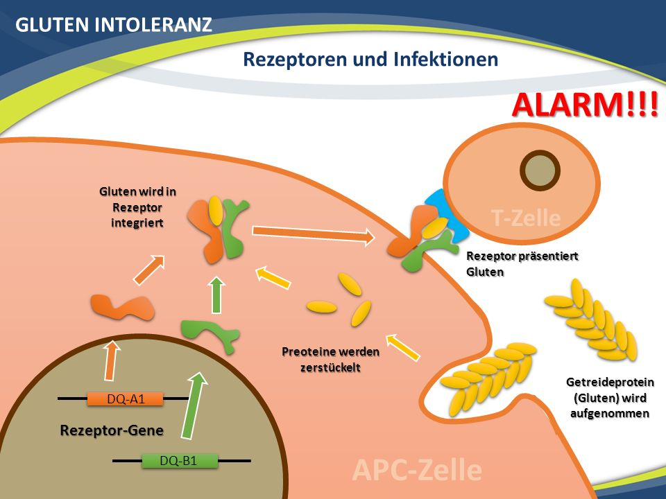 GLUTEN INTOLERANZ Rezeptoren und Infektionen Rezeptor-Gene Getreideprotein (Gluten) wird aufgenommen Preoteine werden zerstückelt Gluten wird in Rezeptor integriert APC-Zelle Rezeptor präsentiert Gluten T-Zelle ALARM!!.