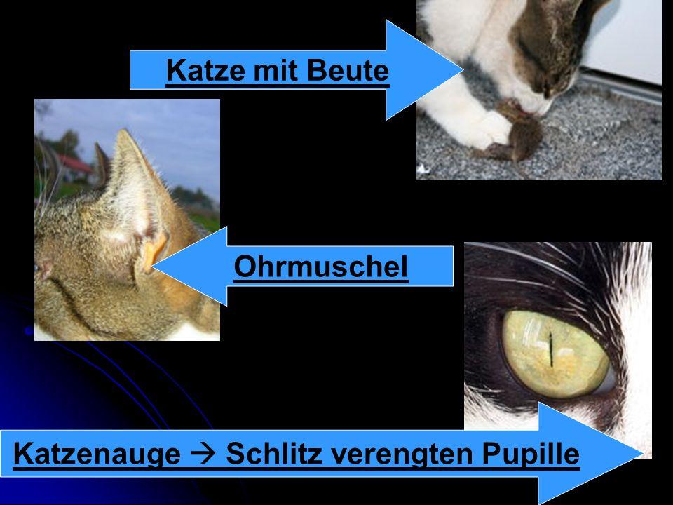 Sinnesleistungen Die Augen : Die Augen : Katzen sehen um etwa 50% besser. Katzen sehen um etwa 50% besser. Das Gehör : Das Gehör : Es ist sehr gut aus