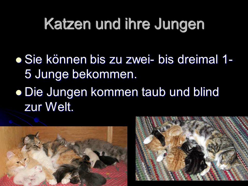 Katzen und ihre Jungen Sie können bis zu zwei- bis dreimal 1- 5 Junge bekommen.