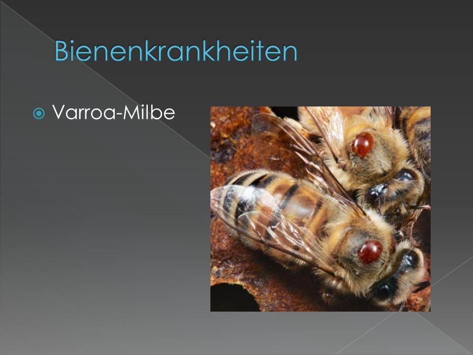  Varroa-Milbe