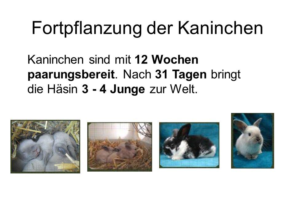 Fortpflanzung der Kaninchen Kaninchen sind mit 12 Wochen paarungsbereit. Nach 31 Tagen bringt die Häsin 3 - 4 Junge zur Welt.