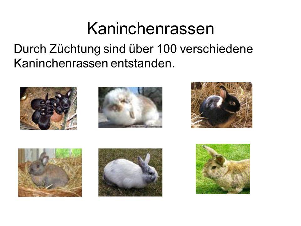 Kaninchenrassen Durch Züchtung sind über 100 verschiedene Kaninchenrassen entstanden.