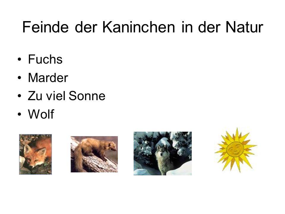 Feinde der Kaninchen in der Natur Fuchs Marder Zu viel Sonne Wolf