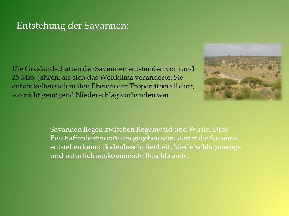 Die Graslandschaften der Savannen entstanden vor rund 25 Mio. Jahren, als sich das Weltklima veränderte. Sie entwickelten sich in den Ebenen der Trope