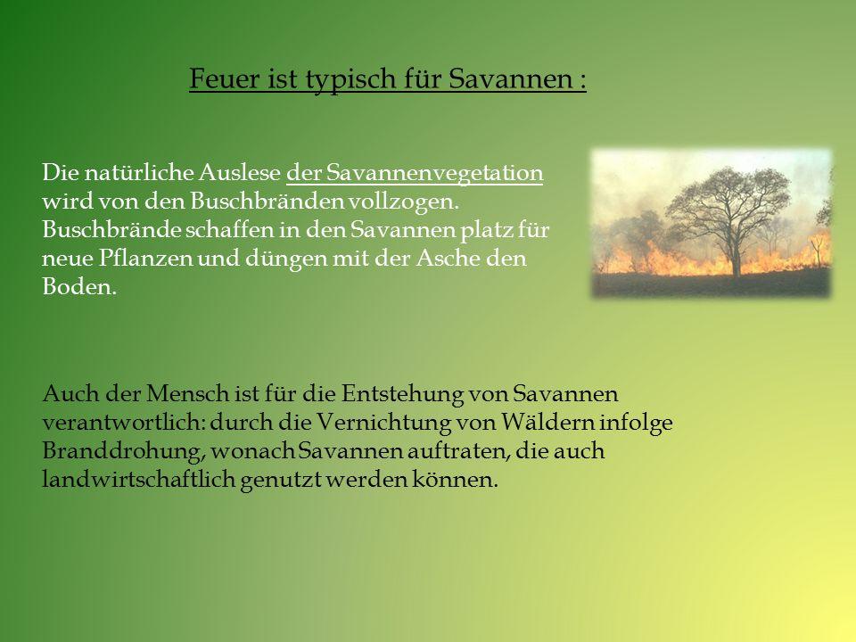 Feuer ist typisch für Savannen : Die natürliche Auslese der Savannenvegetation wird von den Buschbränden vollzogen. Buschbrände schaffen in den Savann