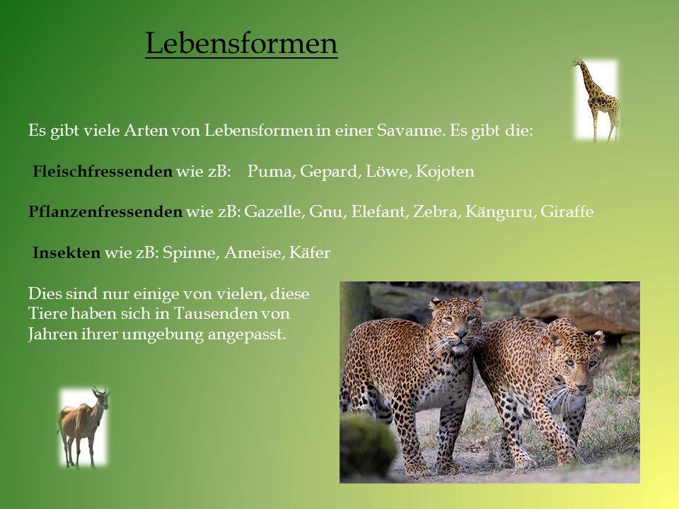 Es gibt viele Arten von Lebensformen in einer Savanne. Es gibt die: Fleischfressenden wie zB: Puma, Gepard, Löwe, Kojoten Pflanzenfressenden wie zB: G