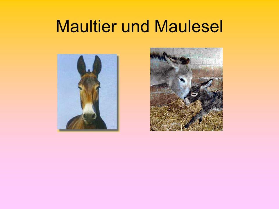 Maultier und Maulesel