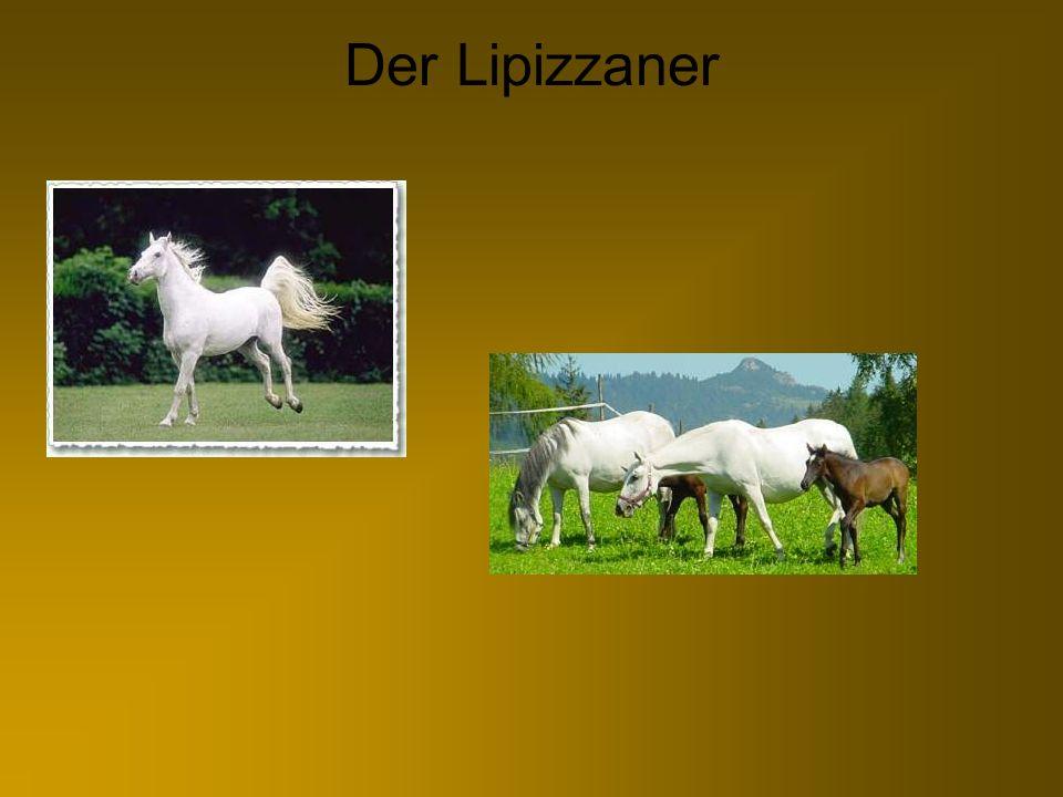Wissenswertes zum Lipizzaner Steckbrief Größe: 1,50-1,60m Farben: Schimmel, gelegentlich Rappen Brauner und Füchse Gebrauch: Dressurpferd und Kutschenpferd