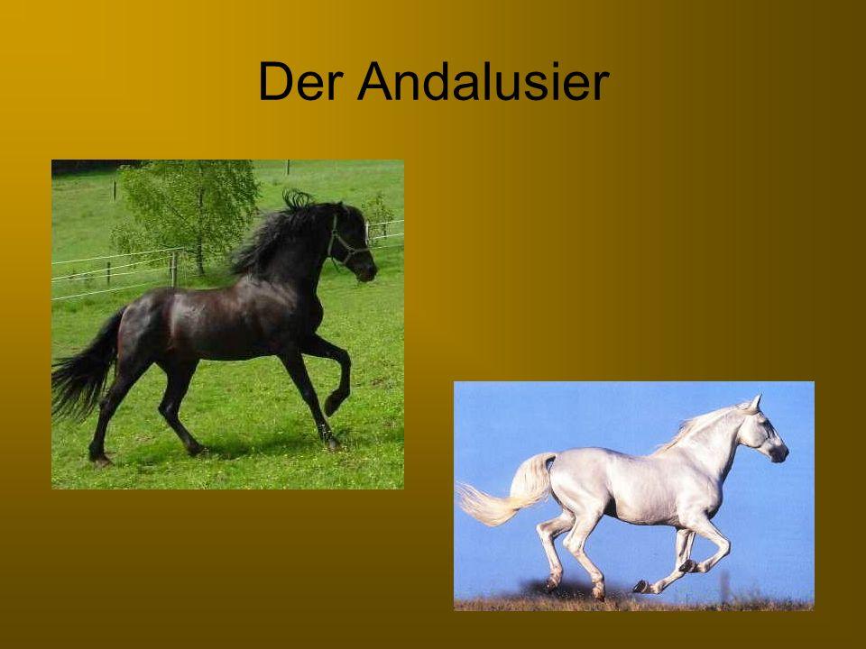 Wissenswertes zum Andalusier Steckbrief Größe: 1,57m Farben: Brauner und Schimmel Gebrauch: Reitpferd