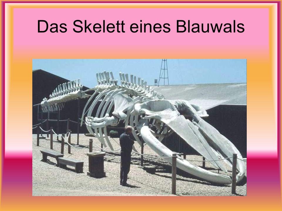 Das Skelett eines Blauwals