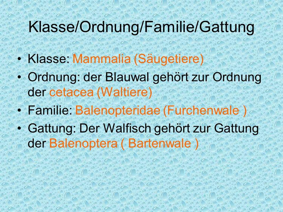 Klasse/Ordnung/Familie/Gattung Klasse: Mammalia (Säugetiere) Ordnung: der Blauwal gehört zur Ordnung der cetacea (Waltiere) Familie: Balenopteridae (F