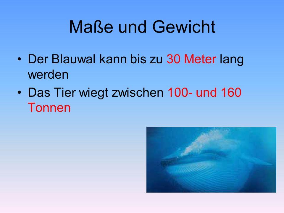 Maße und Gewicht Der Blauwal kann bis zu 30 Meter lang werden Das Tier wiegt zwischen 100- und 160 Tonnen