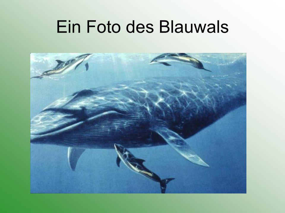 Verhaltensweisen Blauwale leben einzeln oder in kleinen Gruppen mit bis zu 5 Tieren.