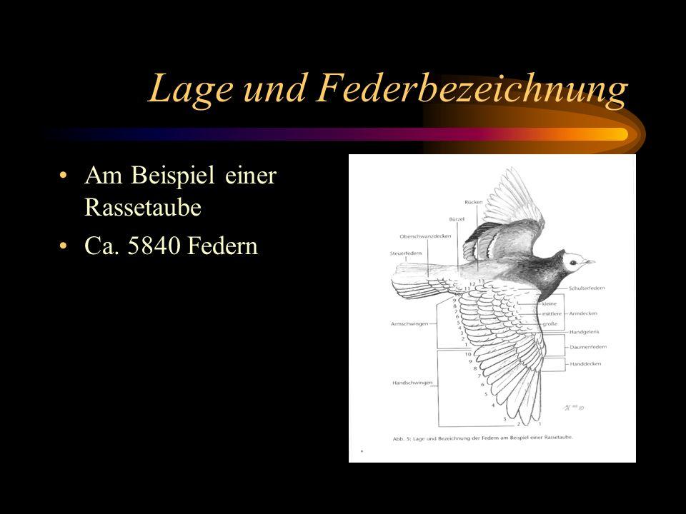 Lage und Federbezeichnung Am Beispiel einer Rassetaube Ca. 5840 Federn