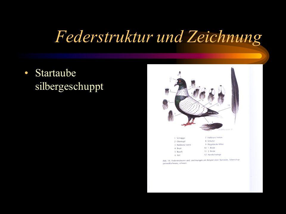 Federstruktur und Zeichnung Startaube silbergeschuppt