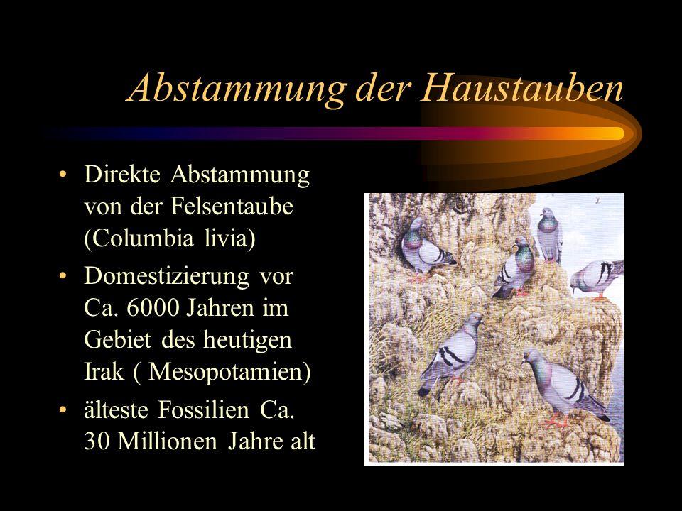 Abstammung der Haustauben Direkte Abstammung von der Felsentaube (Columbia livia) Domestizierung vor Ca. 6000 Jahren im Gebiet des heutigen Irak ( Mes
