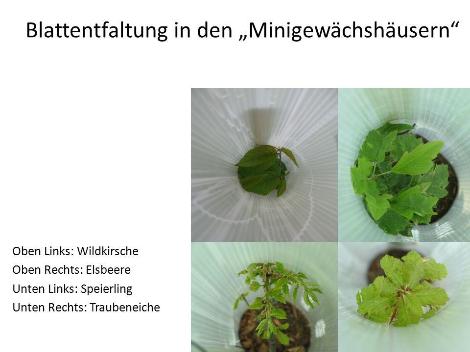"""Blattentfaltung in den """"Minigewächshäusern Oben Links: Wildkirsche Oben Rechts: Elsbeere Unten Links: Speierling Unten Rechts: Traubeneiche"""
