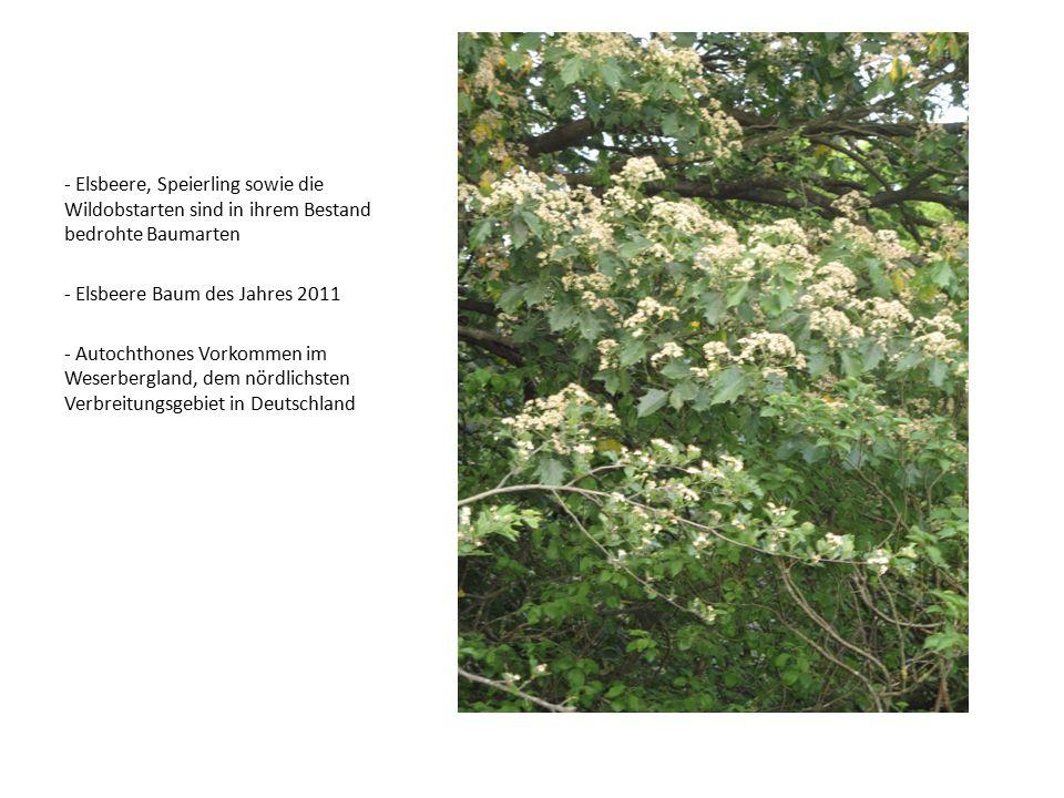 - Elsbeere, Speierling sowie die Wildobstarten sind in ihrem Bestand bedrohte Baumarten - Elsbeere Baum des Jahres 2011 - Autochthones Vorkommen im We