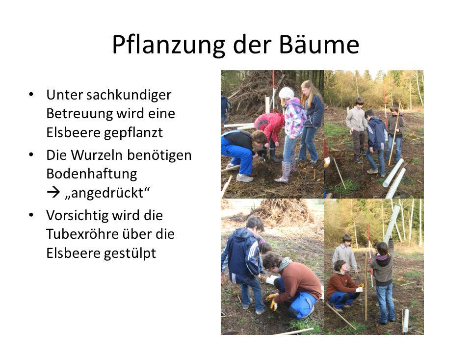"""Pflanzung der Bäume Unter sachkundiger Betreuung wird eine Elsbeere gepflanzt Die Wurzeln benötigen Bodenhaftung  """"angedrückt Vorsichtig wird die Tubexröhre über die Elsbeere gestülpt"""