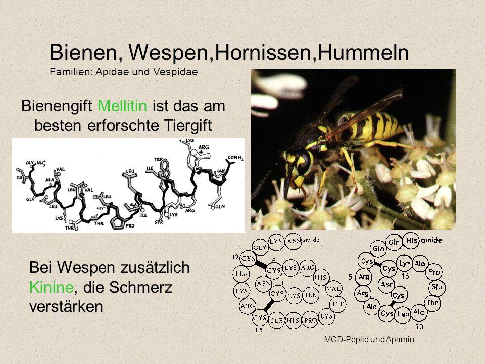 Bienen, Wespen,Hornissen,Hummeln Familien: Apidae und Vespidae Bienengift Mellitin ist das am besten erforschte Tiergift MCD-Peptid und Apamin Bei Wespen zusätzlich Kinine, die Schmerz verstärken