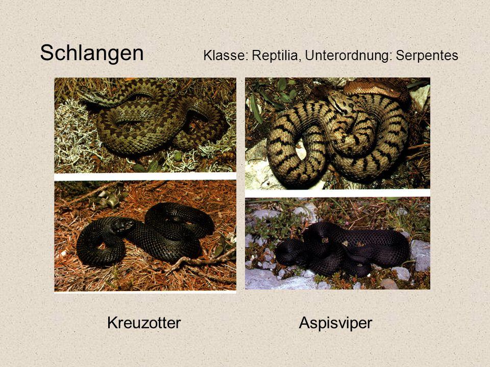 Schlangen Klasse: Reptilia, Unterordnung: Serpentes Kreuzotter Aspisviper