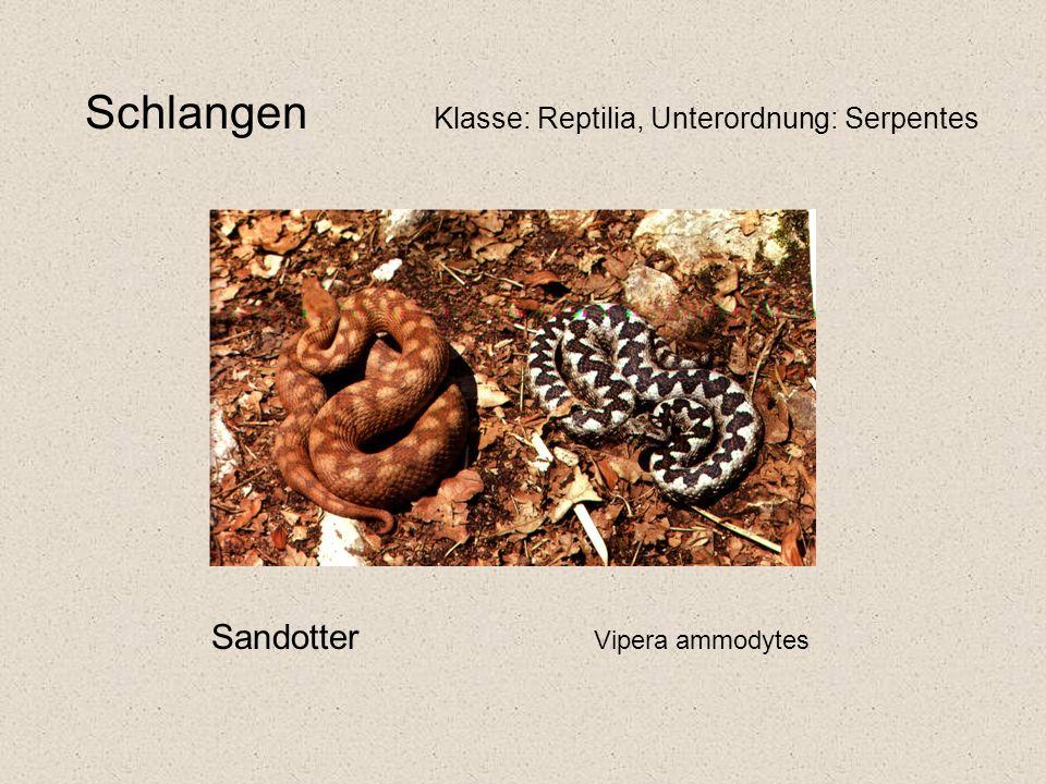 Schlangen Klasse: Reptilia, Unterordnung: Serpentes Sandotter Vipera ammodytes