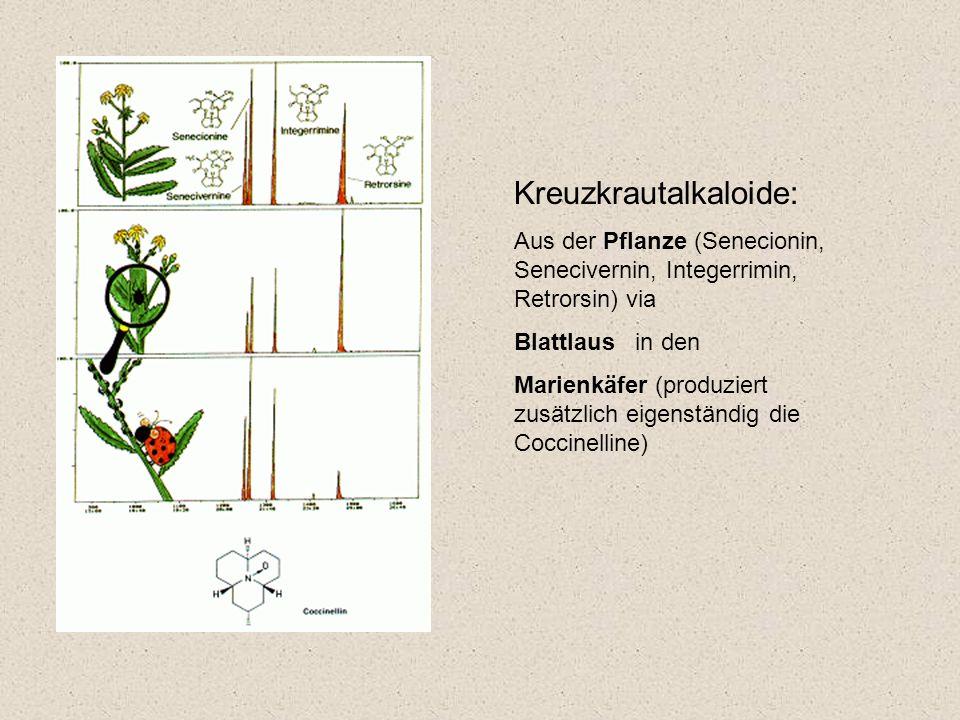 Kreuzkrautalkaloide: Aus der Pflanze (Senecionin, Senecivernin, Integerrimin, Retrorsin) via Blattlaus in den Marienkäfer (produziert zusätzlich eigenständig die Coccinelline)