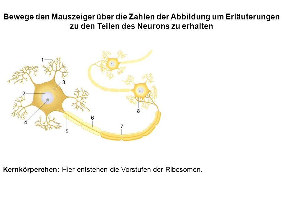 Kernkörperchen: Hier entstehen die Vorstufen der Ribosomen. Bewege den Mauszeiger über die Zahlen der Abbildung um Erläuterungen zu den Teilen des Neu