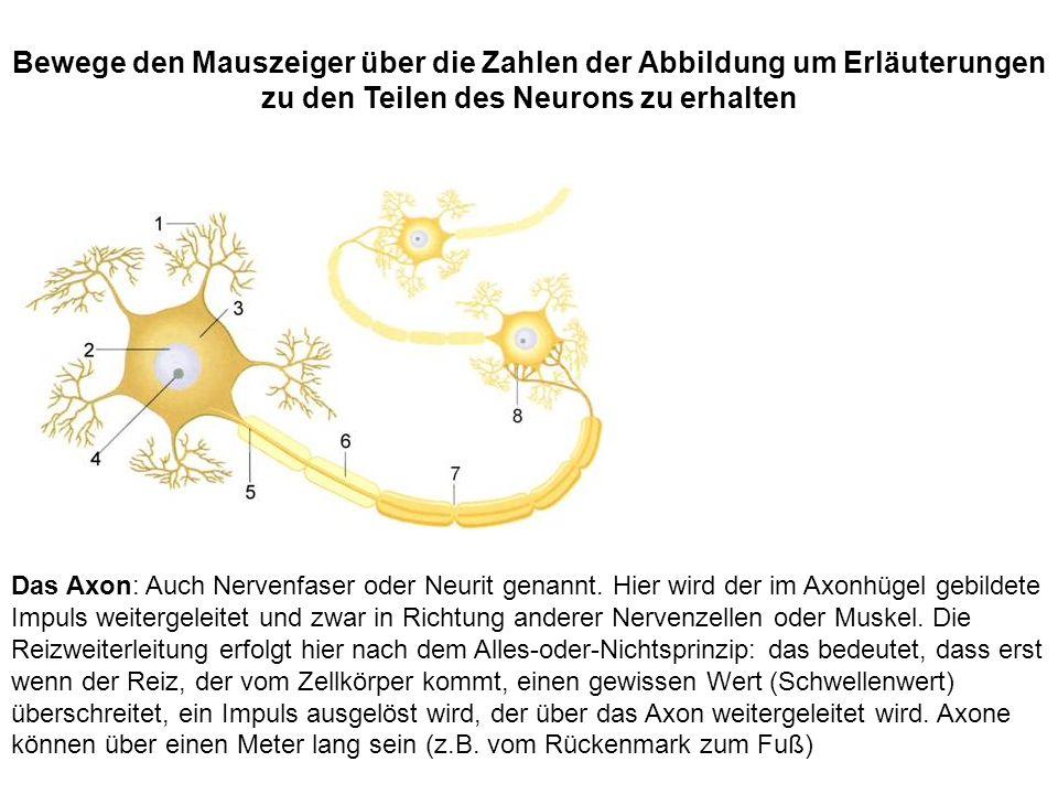 Das Axon: Auch Nervenfaser oder Neurit genannt. Hier wird der im Axonhügel gebildete Impuls weitergeleitet und zwar in Richtung anderer Nervenzellen o