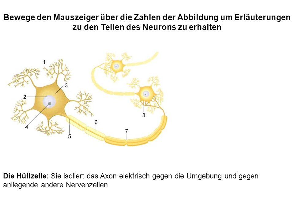 Die Hüllzelle: Sie isoliert das Axon elektrisch gegen die Umgebung und gegen anliegende andere Nervenzellen. Bewege den Mauszeiger über die Zahlen der