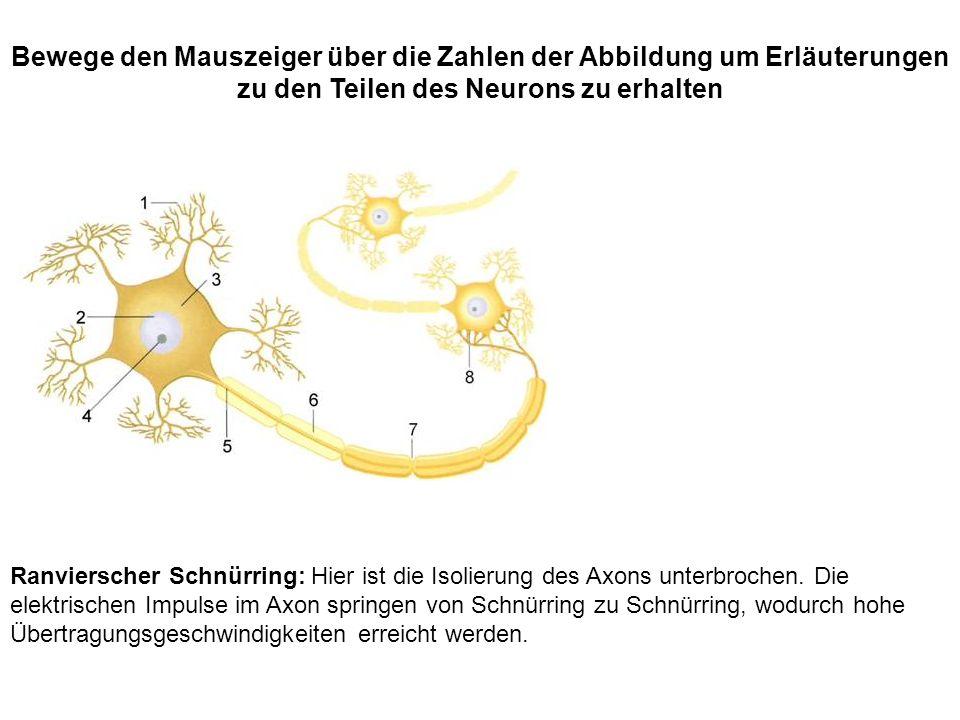 Ranvierscher Schnürring: Hier ist die Isolierung des Axons unterbrochen. Die elektrischen Impulse im Axon springen von Schnürring zu Schnürring, wodur