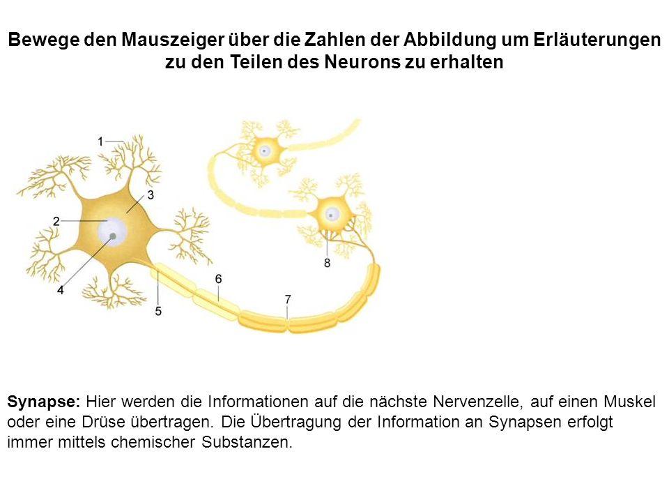 Synapse: Hier werden die Informationen auf die nächste Nervenzelle, auf einen Muskel oder eine Drüse übertragen. Die Übertragung der Information an Sy