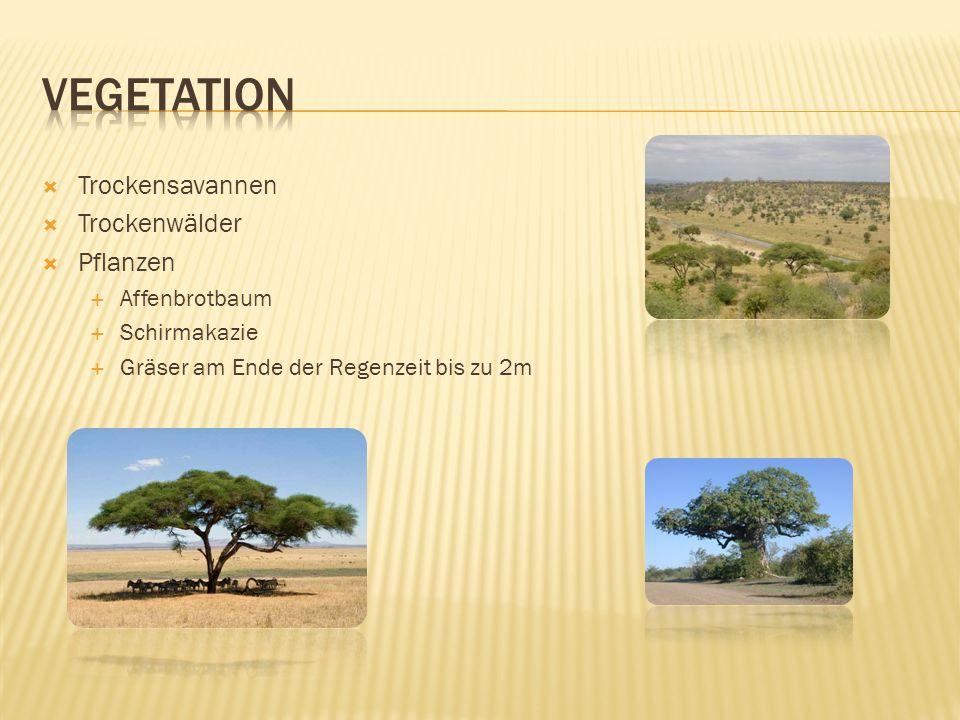  Trockensavannen  Trockenwälder  Pflanzen  Affenbrotbaum  Schirmakazie  Gräser am Ende der Regenzeit bis zu 2m