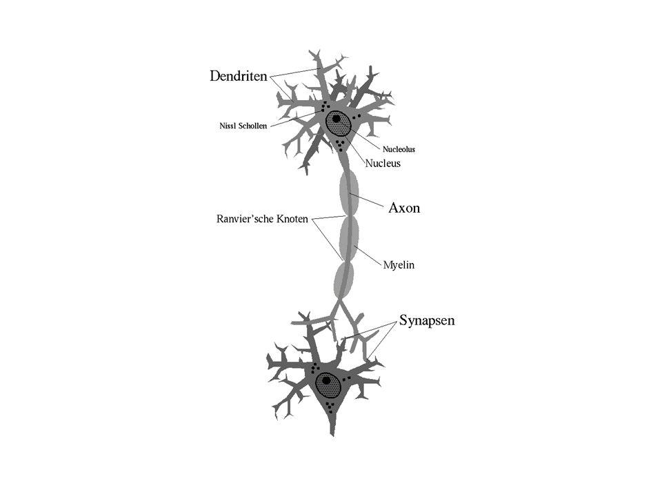 Woraus besteht das Gehirn.
