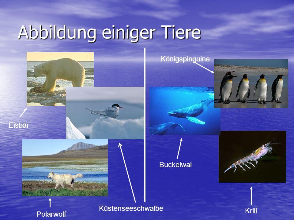 Abbildung einiger Tiere Küstenseeschwalbe Polarwolf Eisbär Krill Buckelwal Königspinguine