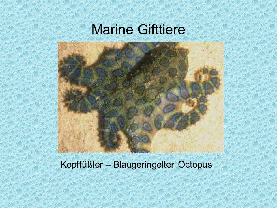 Marine Gifttiere Kopffüßler – Blaugeringelter Octopus