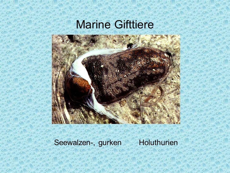Marine Gifttiere Seewalzen-, gurken Holuthurien