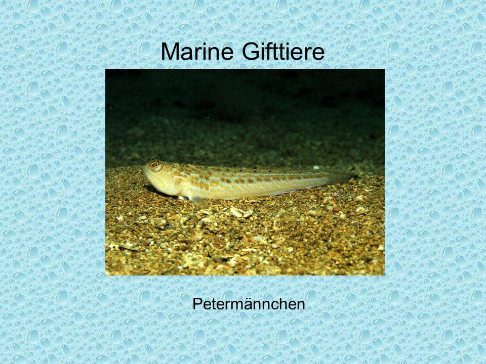Marine Gifttiere Petermännchen