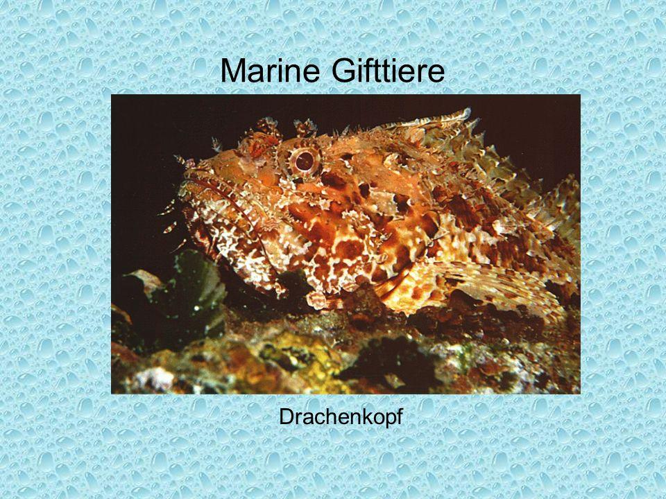 Marine Gifttiere Drachenkopf