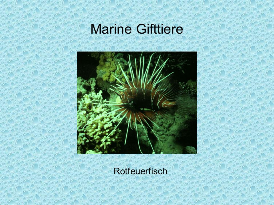 Marine Gifttiere Rotfeuerfisch