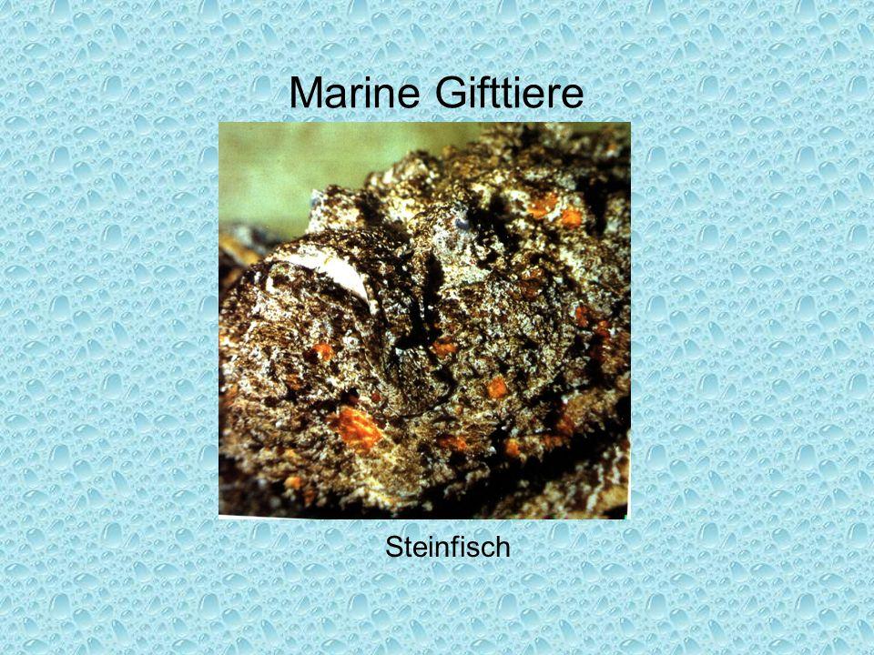 Marine Gifttiere Steinfisch