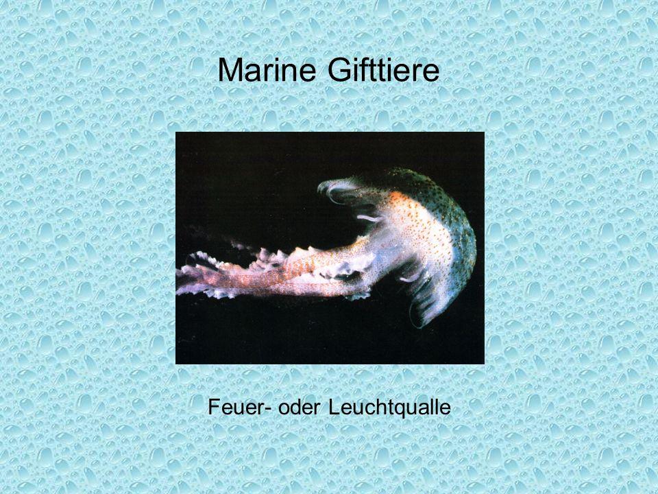 Marine Gifttiere Feuer- oder Leuchtqualle