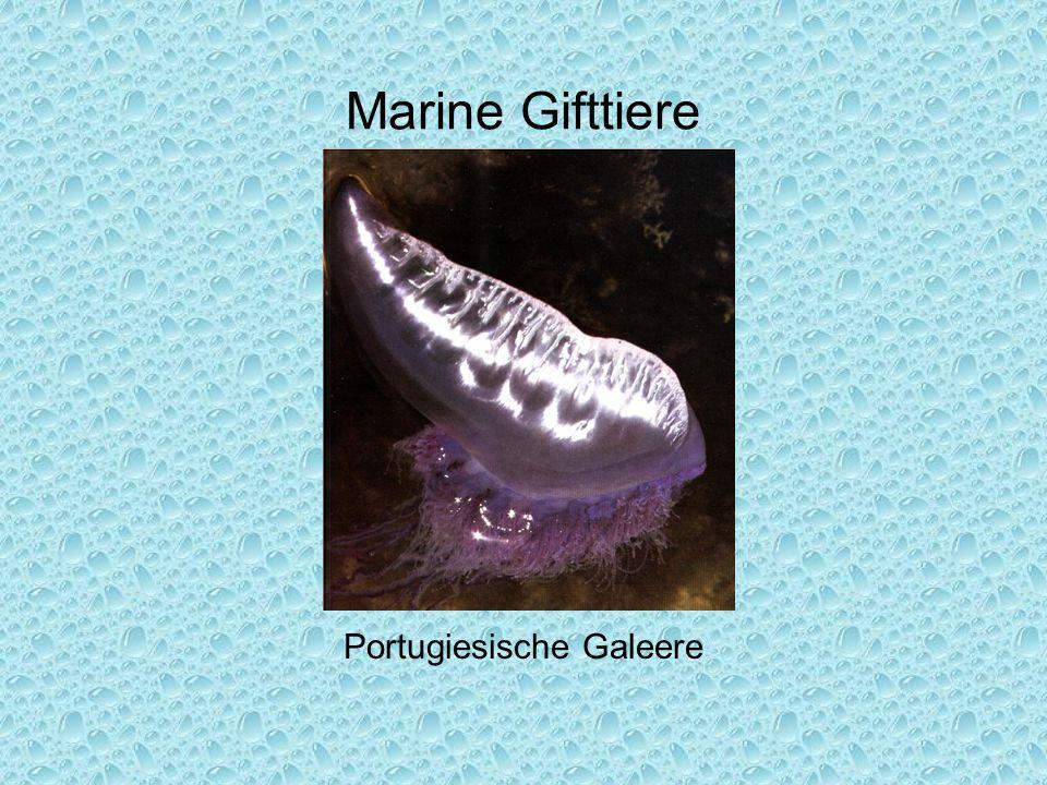 Marine Gifttiere Portugiesische Galeere