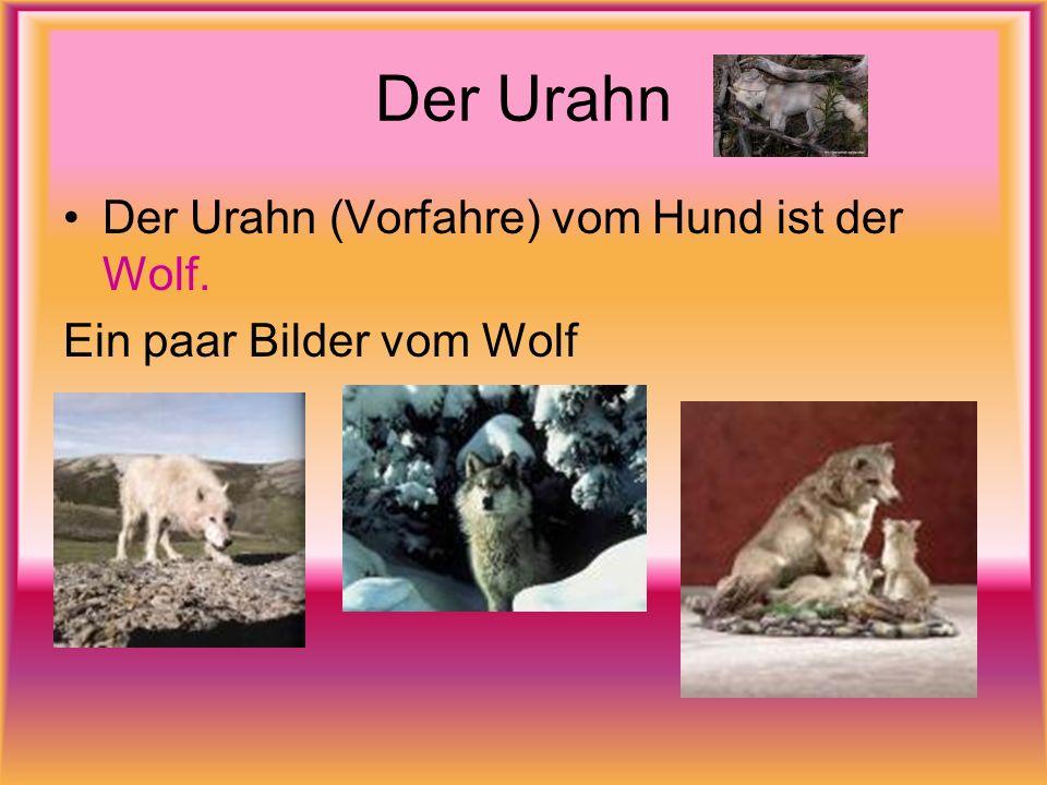 Der Urahn Der Urahn (Vorfahre) vom Hund ist der Wolf. Ein paar Bilder vom Wolf
