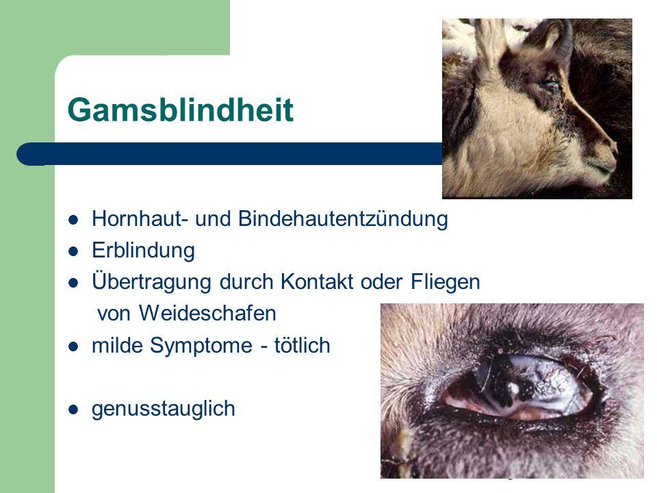Dr. Edgar Lehner Gamsblindheit Hornhaut- und Bindehautentzündung Erblindung Übertragung durch Kontakt oder Fliegen von Weideschafen milde Symptome - t