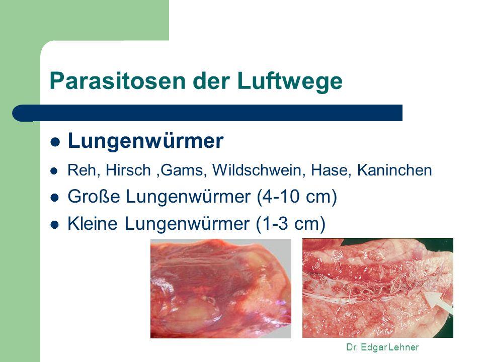 Dr. Edgar Lehner Parasitosen der Luftwege Lungenwürmer Reh, Hirsch,Gams, Wildschwein, Hase, Kaninchen Große Lungenwürmer (4-10 cm) Kleine Lungenwürmer